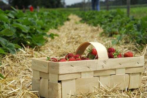 за такую корзинку ягод сборщик получает от 1,5 до 2 злотых