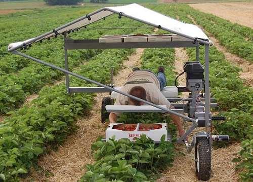 полумеханизированный сбор ягод на поле