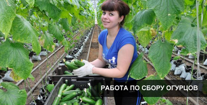 Дела огородные выращивание огурцов 7