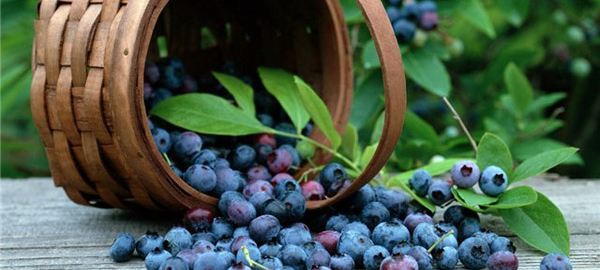 Сбор ягод голубики в Польше